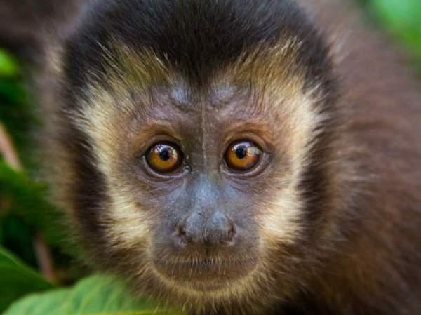 Imagem do macaco prego.