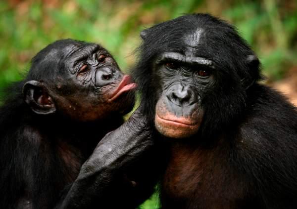 Macacos se acariciando.