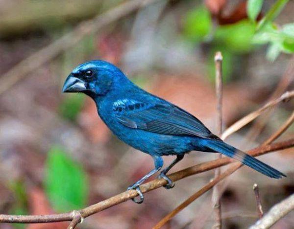 pássaros brasileiro azulão