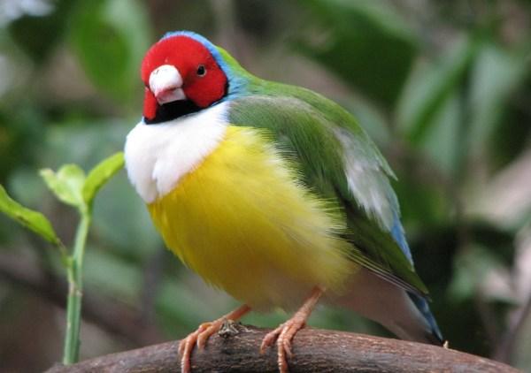 colorido pássaros brasileiro