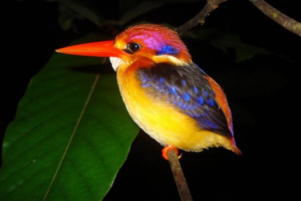 pássaros brasileiro pequeno