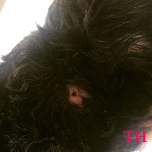 cómo curar una herida de mordida a mi perro