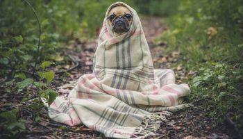 pug dog in a blanket