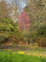 Cherry Collingwood Ingram in the Spring Wood