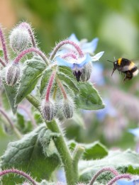 Bee/Borage
