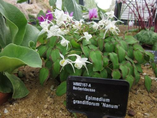 Epimedium grandiflorum Nanum