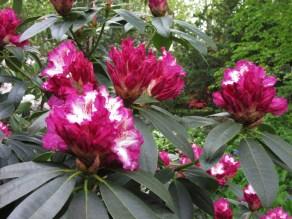 Rhododendro Elsie Watson