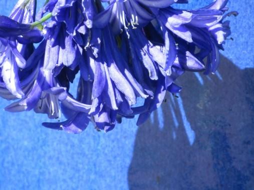 agapanthus blue pot landscape