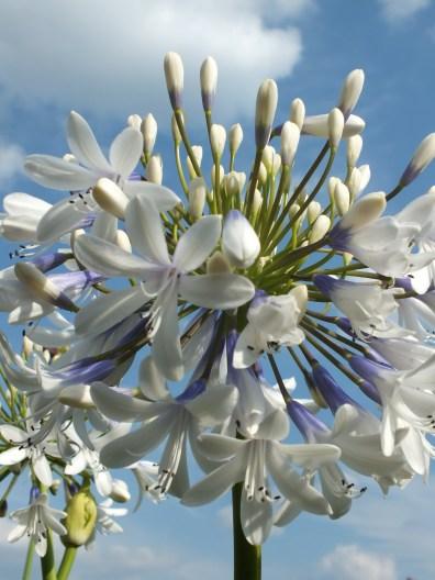agapanthus white blue