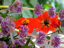 blue salvia red dahlia