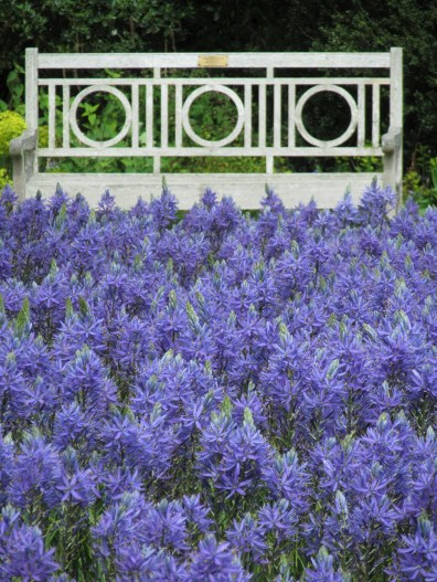 camassias blue wisley