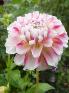 dahlia cream pink