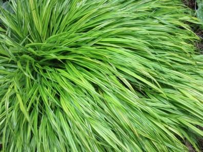 hakonechloa macro alboaurea