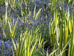 iris variegated blue forgetmenot