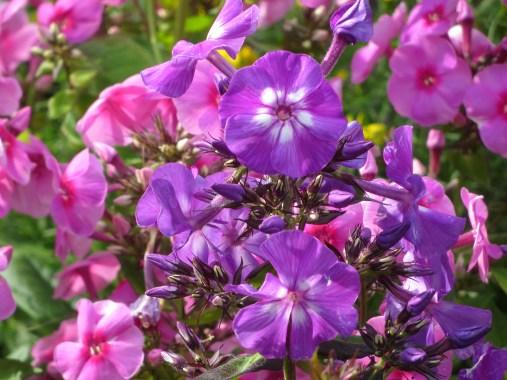 phlox pink purple