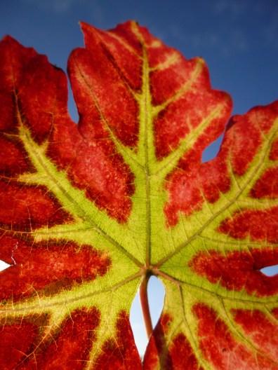 Vine leaf red blue sky