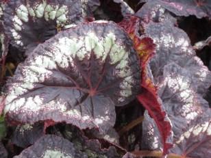 Begonia Helen L...