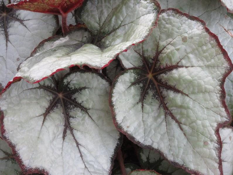 Begonia Mikado