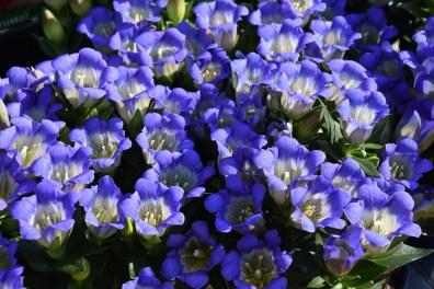 Gentian scabra Blue Mountain