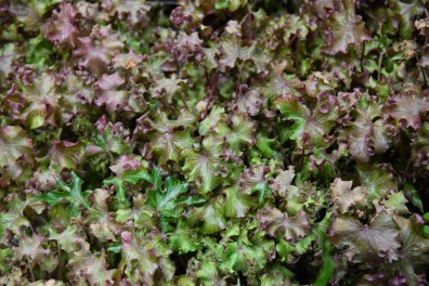 Hedera helix Pink and Curly