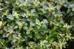 Ilex meserveae Little Sensation