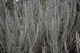 Ozothamnus Sussex Silver