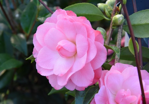 Camellia Autumn Jewels
