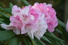 Rhododedron Nobleanum Venustum