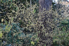 Chimonathus praecox