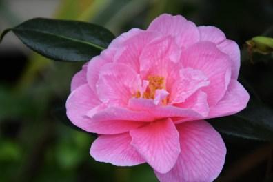 Camellia x williamsii Donation