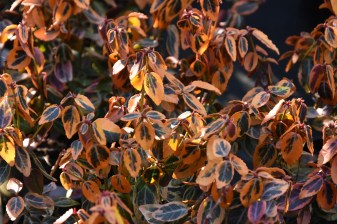 Euonymus Emerald n Gold
