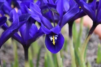 Iris Blue Hill