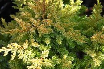 Juniperus media Goldfern