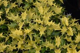 Ozmanthus heterophyllus Ogon