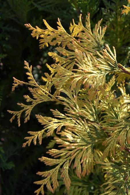 Thuja plicata Extra Gold