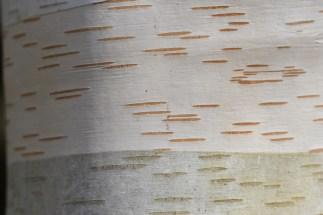 Betula occidentalis var kyeland