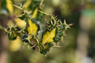 Ilex aquifolium ferox Aurea