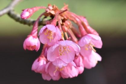Prunus Matsumae Kursar