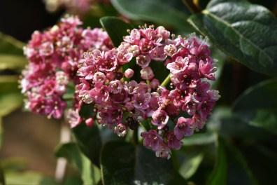 Viburnum tinus Lila Rose