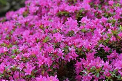 Rhododendron Hatsu giri