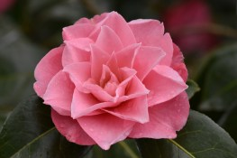 Camellia x williamsii Joe Nuccio
