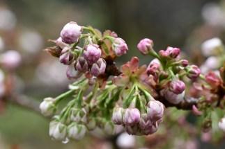 Prunus Matsumae Oshio