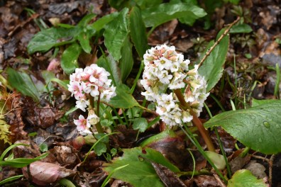 Bergenia White Flowered
