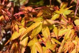 Acer palmatum Tochi no hikari