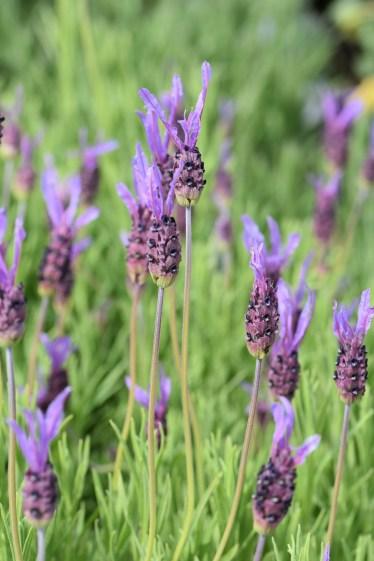 Lavender stoechas James Compton