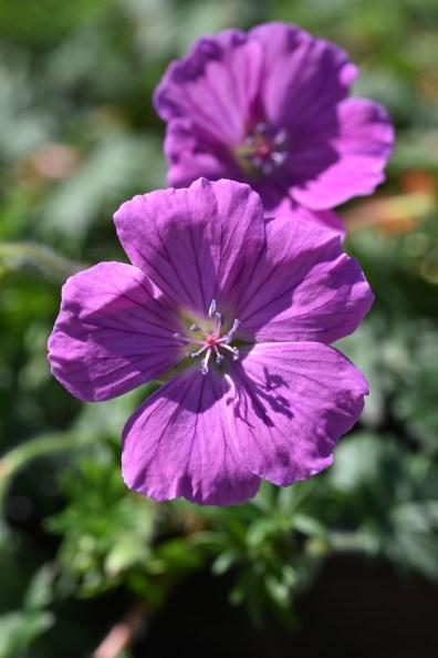 Geranium sanguineum John Elsley