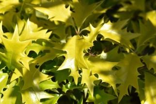 Osmanthus heterphyllus All Gold