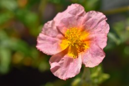 Helianthemum Salmon Queen