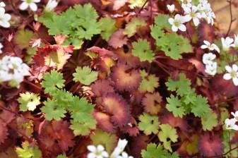 Saxifraga maderensis