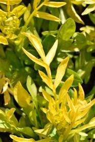 Valeriana Spring Sunshine